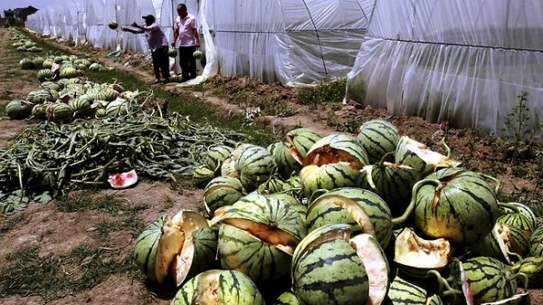 china-exploding-watermelons