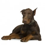 dog-picture-photo-doberman-puppy