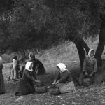 Το μάζεμα της ελιάςμε το χέρι, στην Πρέβελη Κρήτης, 1911