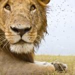 lions03