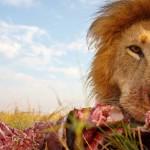 lions04