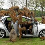 Hyundai i30 baboon test