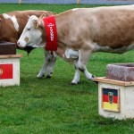 cow-euro-2012