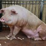 pig-euro-2012