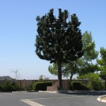 cell-phone-tower-disguised-as-a-tree-11