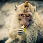 Η μαϊμού σκέτο