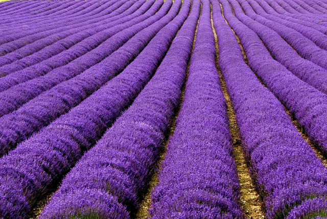 Lavender Fields, UK and France2