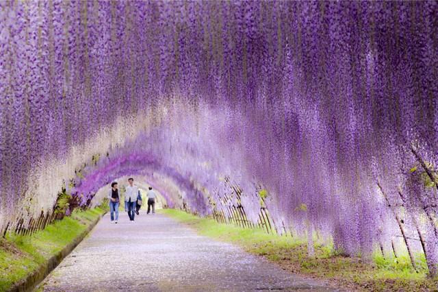 Wisteria Flower Tunnel in Japan2