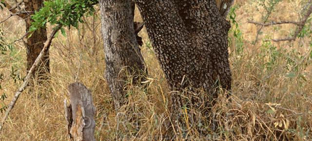 leopard-quiz