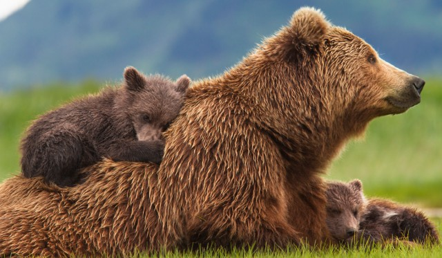 bears-2_0