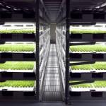 lettuce-harvest-640x427