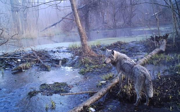 wolves.jpg.662x0_q70_crop-scale