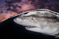 """""""Καρχαρίας την ώρα που βραδιάζει"""". Φωτογράφος: Terry Steeley, Ηνωμένο Βασίλειο. Κατηγορία: Over/Under (Gold Medal Winner). Τοποθεσία: Μπαχάμες."""