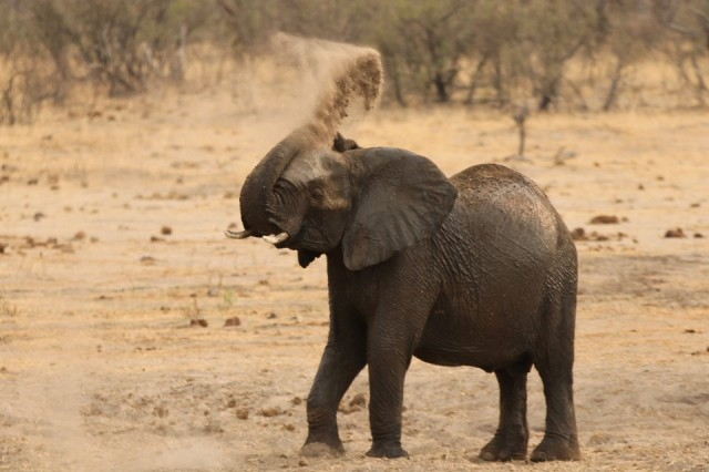 A young elephant throws sand at a dry drinking hole in Hwange National Park in Zimbabwe, September 29, 2015. REUTERS/Philimon Bulawayo - RTX2CLW8
